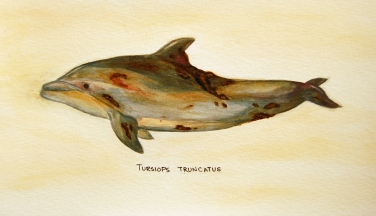 "Oil Spill: Tursiops truncatus • 2011 • Watercolor on paper • 11""x14"""