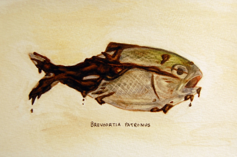 "Oil Spill: Brevoortia patronus • 2011 • Watercolor on paper • 11""x14"""