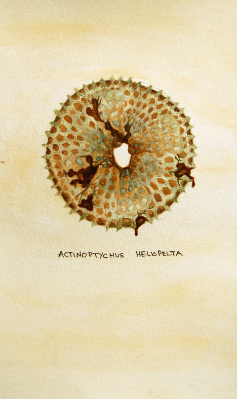 "Oil Spill: Actinoptychus heliopelta • 2011 • Watercolor on paper • 11""x14"""