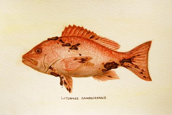 "Oil Spill: Lutjanus campechanus • 2011 • Watercolor on paper • 11""x14"""