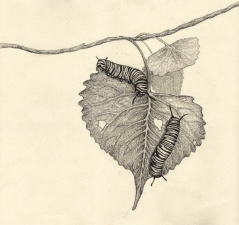 "Monarchs • 2013 • Graphite on Paper • 9""x10"""