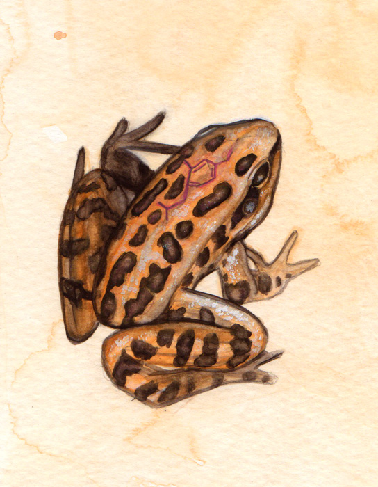 "Northern Leopard Frog Study • 2014 • Watercolor and Gouache on Paper • 5""x7"""