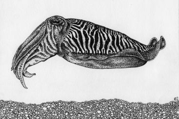 Cuttlefish • 2015 • Pen and Ink on paper • 5x7""